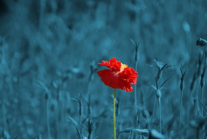 poppy-papaver-meadow-pointed-flower-abstract-plant